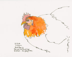 Chicken sketch in pen and watercolor on a 9 x 12 inch watercolor board, made in the Poulty Barn in 2016.