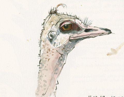 191119-2-como-ostrich-field-artistCRAltBRfeat